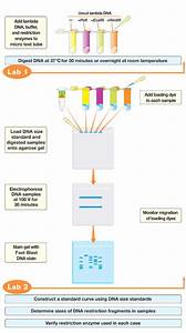 Restriction Digestion And Analysis Of Lambda Dna Kit