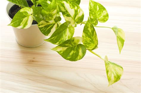 32 Beautiful Indoor House Plants That Are Also Easy To Maintain : Beautiful Easy Indoor House Plants Easy Indoor Plants Low