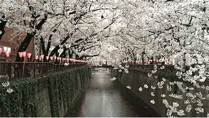 Sakura Rain Japan Blossom Kawaii Amazing Gifs