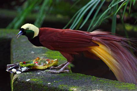 bird of paradise greater bird of paradise wikipedia