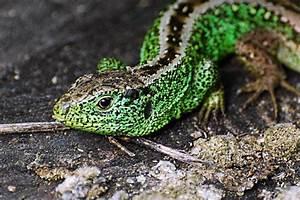 Große Reptilien Für Zuhause : reptilien kennen melden sch tzen naturschutzbund ~ Lizthompson.info Haus und Dekorationen