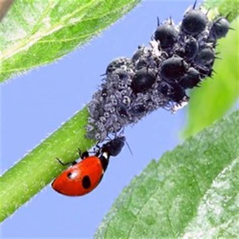 Zimmerpflanzen Und Gartenpflanzen Vom Blattlaus Befall Schuetzen by Blattl 228 Use Wie Die Plage Im Garten Und Auf