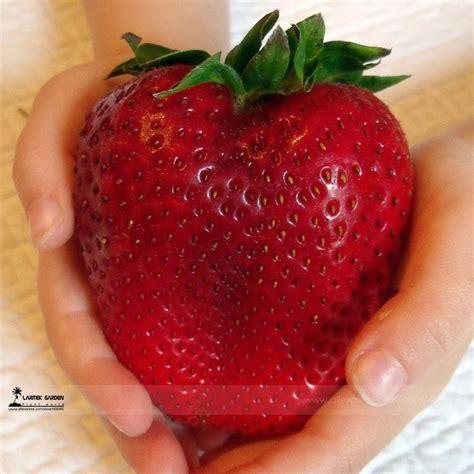 strawberry seeds aliexpress com buy 2017 rarest heirloom super giant japan red strawberry organic seeds