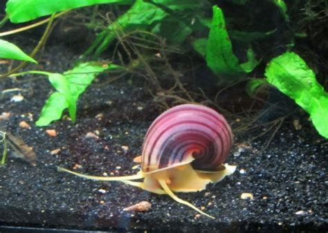 mystery snails images  pinterest fish