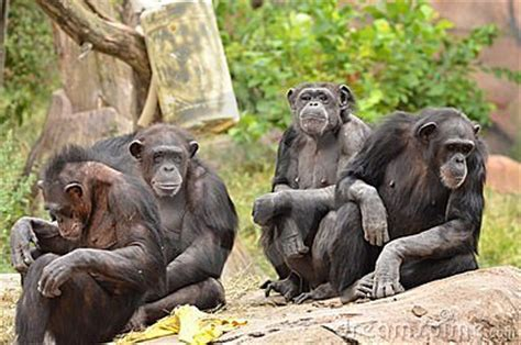chimpanzee group stock images image