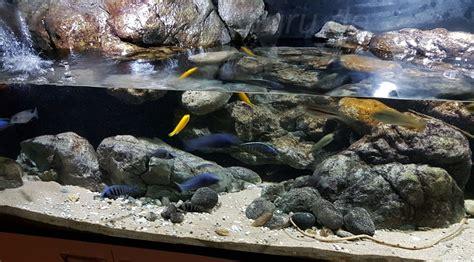 fische ins aquarium einsetzen malawi guru de malawis kaufen und einsetzen ins aquarium