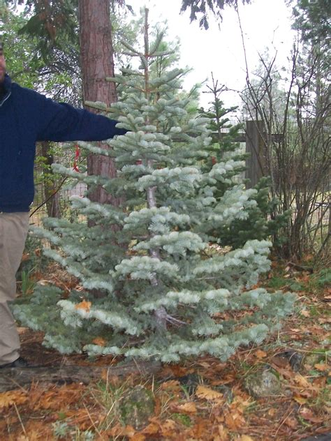 pin by gena silvertip christmas tree farm and high