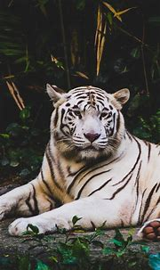 Black And White Tiger Wallpaper Iphone | Tiger wallpaper ...