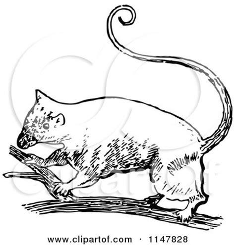 cartoon   cute australian possum royalty  vector