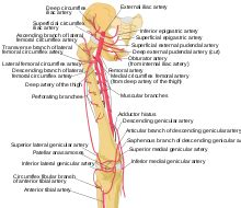 Pudendal Arteries Wikipedia