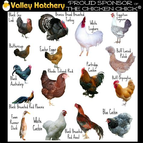 chicken types chicken care types  chickens rooster