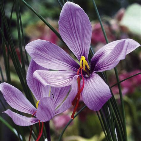 what flower is saffron from saffron crocus bulbs dobies