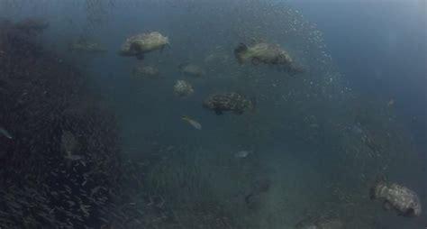 grouper ever goliath largest gathering recorded florida