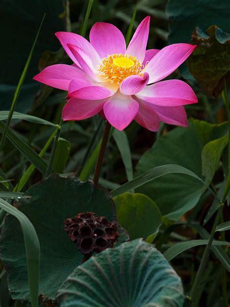 Nelumbo Nucifera 5 Seeds, Fun Aquatic Pond, Pink Lotus ...