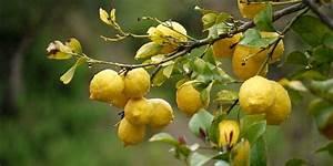 Planter Un Citronnier : citronniers orangers et autres agrumes les planter et ~ Melissatoandfro.com Idées de Décoration