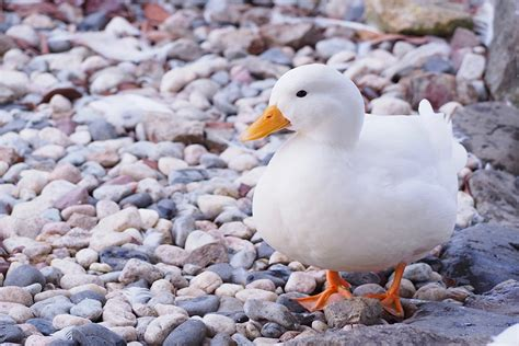 is bread bad for ducks is it bad to feed bread to ducks