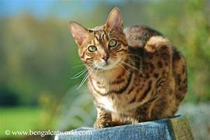 Bengal Cat Facts by www.Bengalcatworld.com | Doggalicious ...