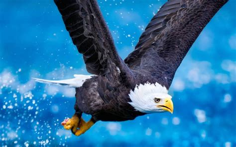 flying bald eagle widescreen high resolution