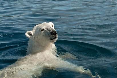 Ice Bear Geographic National