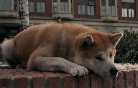 oboi grust sobaka pes lezhit ozhidanie akita inu