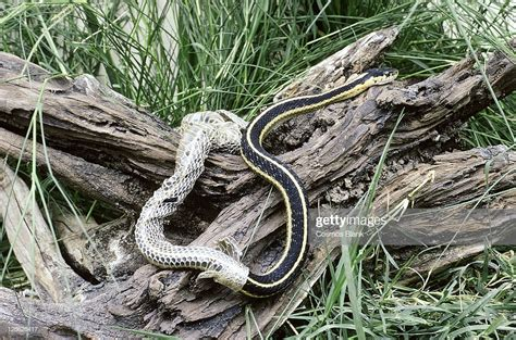 Shedding Snake by Garter Snake Shedding Stock Photo Getty Images