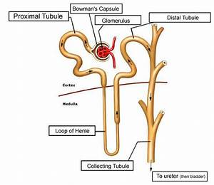 Nephron Diagram Labeled