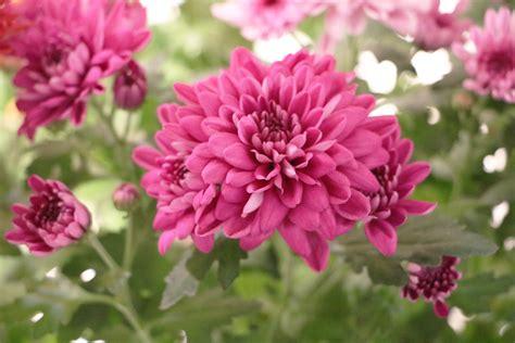 dendranthema hybride balkon sind chrysanthemen mehrj 228 hrig winterhart anleitung zum 220 berwintern hausgarten net