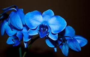 beautiful blue orchid we need