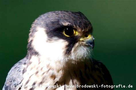 waldvoegel waldvogelarten bestimmen mit bildern referate