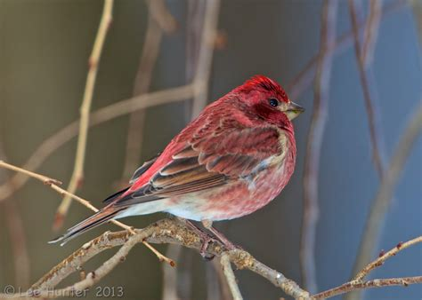 purple finch for the birds pinterest