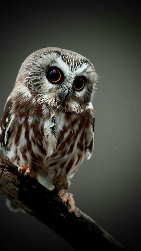 Owl Phone Wallpaper by Owl Wallpapers 65 Images