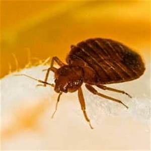 are bed bugs in maine With bed bugs portland