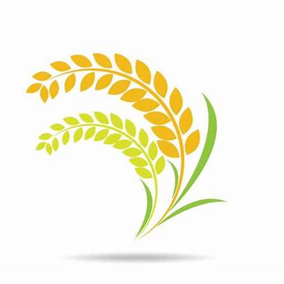 Rice Grain Vector Clip Paddy Illustrations Circle