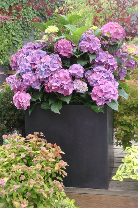 ways  grow hydrangeas  containers southern living