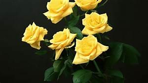 yellow rose wallpaper download - HD Desktop Wallpapers   4k HD
