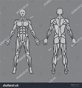 Anatomy Male Muscular System Exercise Muscle Stock Vector