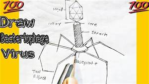 How To Draw Bacteriophage  Virus Labelled Diagram