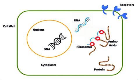 diagram   human cell newatvsinfo