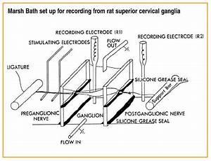 Marsh Ganglion Bath For Synaptic Transmission Or Nerve