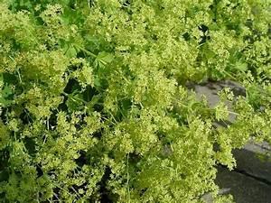 Acheter Des Plantes : alchemilla epipsila plantes vivaces acheter des plantes en ligne ~ Melissatoandfro.com Idées de Décoration