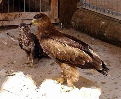 Eagle Golden Birds Wikipedia Aquila Chrysaetos Canada