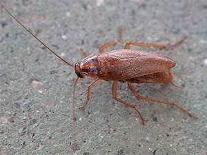 Schaben In Der Wohnung : german cockroach wikipedia ~ Eleganceandgraceweddings.com Haus und Dekorationen