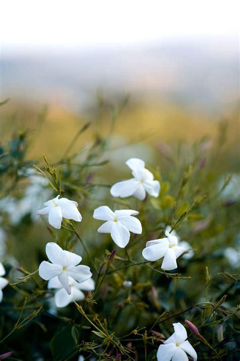 alan titchmarsh  growing jasmine   garden garden