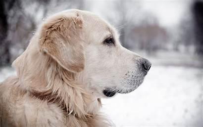 Labrador Retriever Screensavers Desktop Wallpapers Widescreen Caini