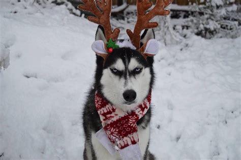 angry husky  viral  hilarious christmas card