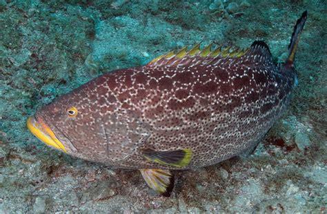 grouper yellowfin noaa types florida fish mycteroperca flower juvenile source fishes flowergarden gov