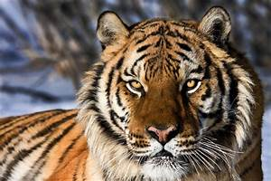 Bengal Tiger face - Photograph at sternphotos.com