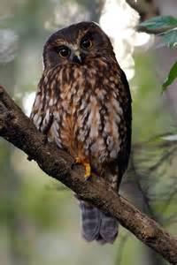 Morepork (Ruru) : Birding NZ