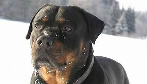 Latest update top 10 most dangerous dog breeds for Rottweiler dangerous dog
