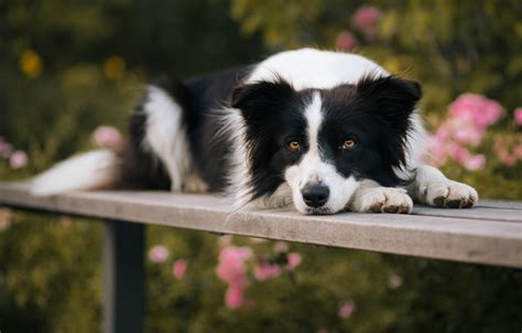 Animal Border Wallpaper - beautiful border collie hd wallpaper and background